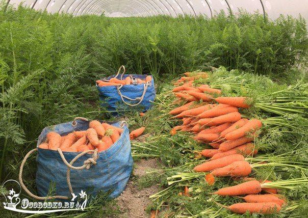 Секреты удобрения моркови - Огородко