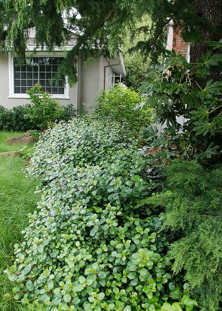 19 Best Images About California Native Plants For Shade/under Oaks On Pinterest | Drought ...