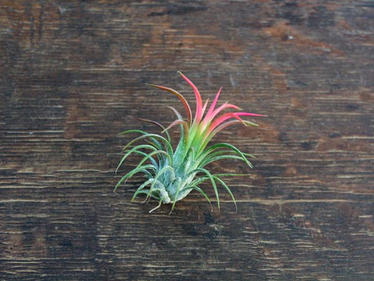 Currently in red color! These are smaller air plants, currently around 2 inches or so big. These will continue to grow over 3 inches high and with bright light will stay red year round. The Tillandsia