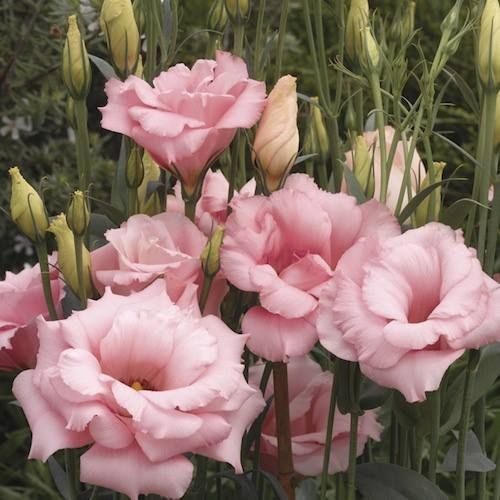 Lisianthus 'Balboa Rose' .... a pretty flower that looks like a rose but isn't.
