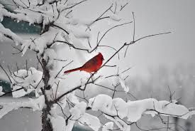 cardinal in winter - Google Search