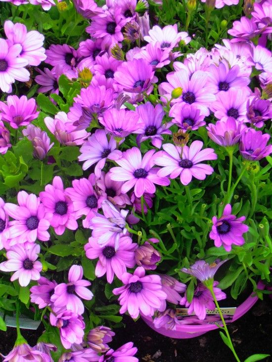 African Daisy Serenity Pink - Landsdale Plants
