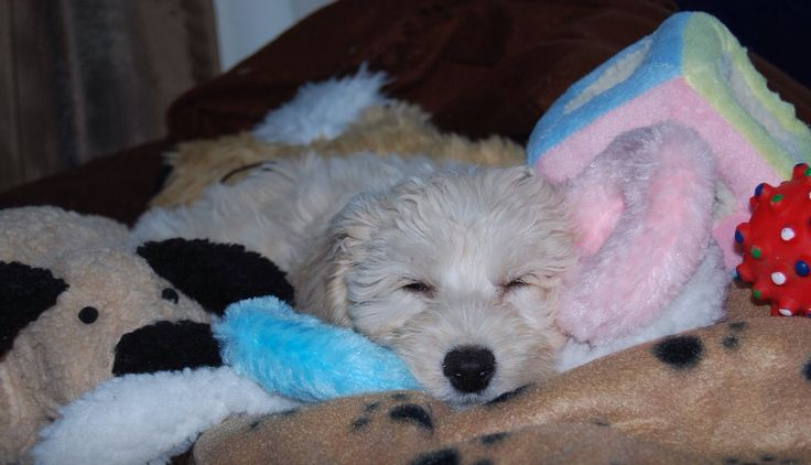 Spoodle - first day home