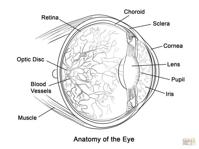 25 Inspired Photo Of Eye Coloring Page Eye Anatomy Human