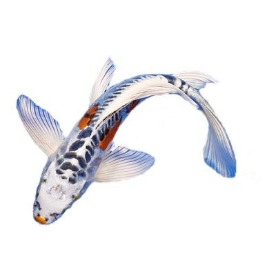17 best images about koi on pinterest abstract art for Wild koi fish