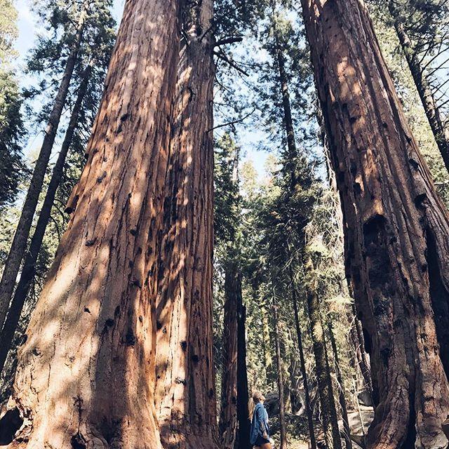 Se sentir minuscule à côté de ces géants ✔️ #sequoia #california #roadtripcalifornie #iphone7plus