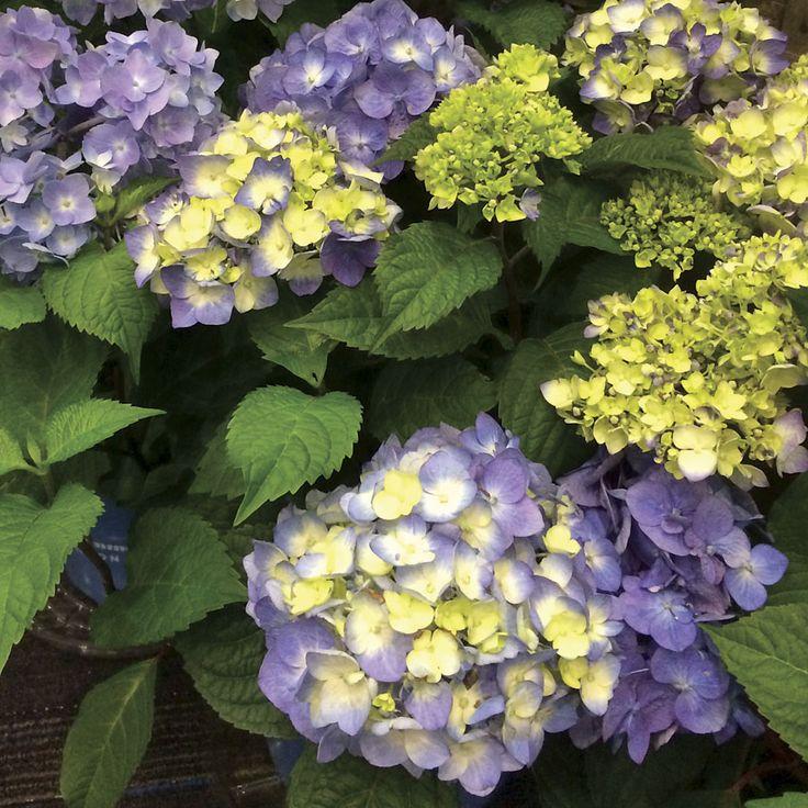 Endless Summer BloomStruck Hydrangea (Hydrangea BloomStruck) at Wayside Gardens