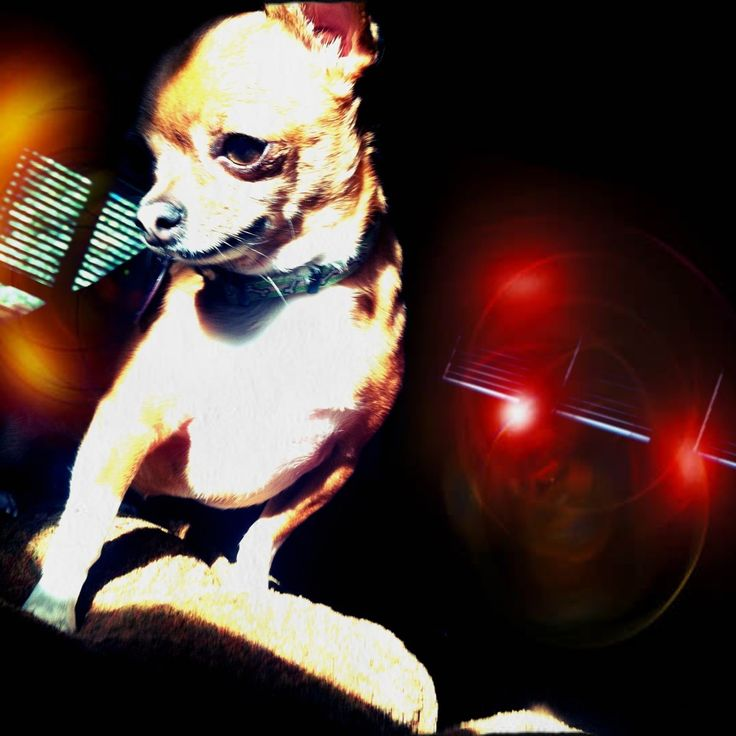 #Chihuahua Disco   #hearit on #Seemail: Chihuahua Discos, Discos Hearit