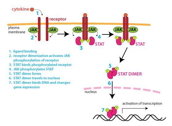 Výsledek obrázku pro ruxolitinib mechanism of action