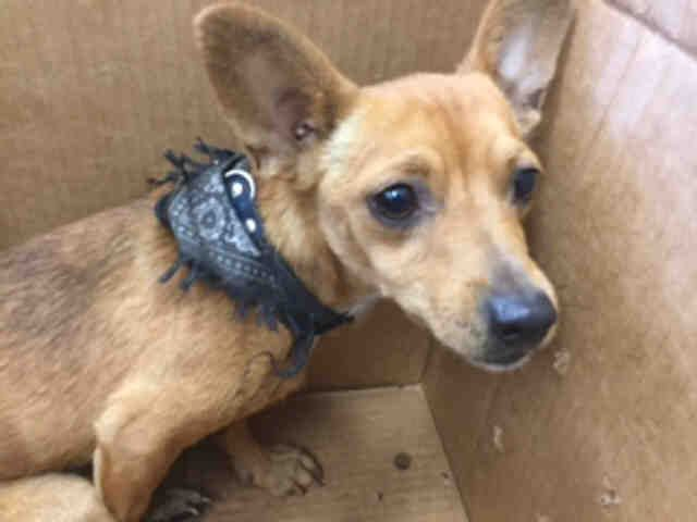 Chihuahua Unknown Mix Dog For Adoption In San Antonio Tx Usa