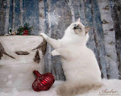 Purebred Adult Male Ragdoll Cats For Sale | Riterags Ragdolls #ragdollcatmale