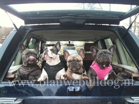 Blue French bulldog - Blauwe Franse bulldog