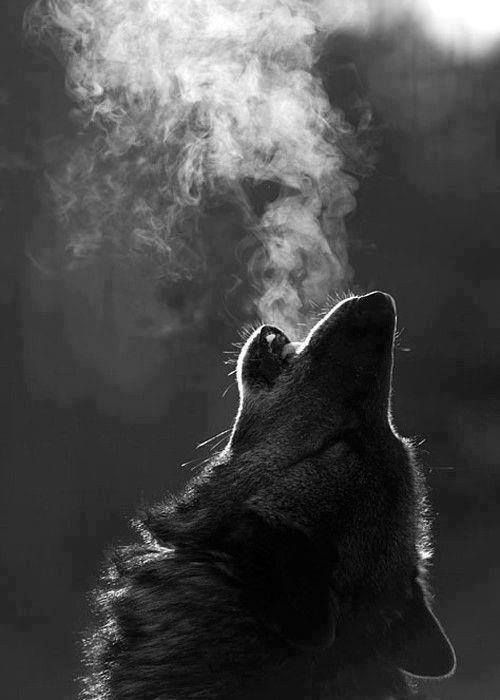 Wolves> To live with them teaches you to remember how to call to your own connection to Spirit. My wolf would howl/sing to the sound of a c.d. of the Whales songs. They all know. They have come to remind us.