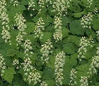 Bodembedekkers: soorten groenblijvende of wintergroene vaste planten voor de tuin