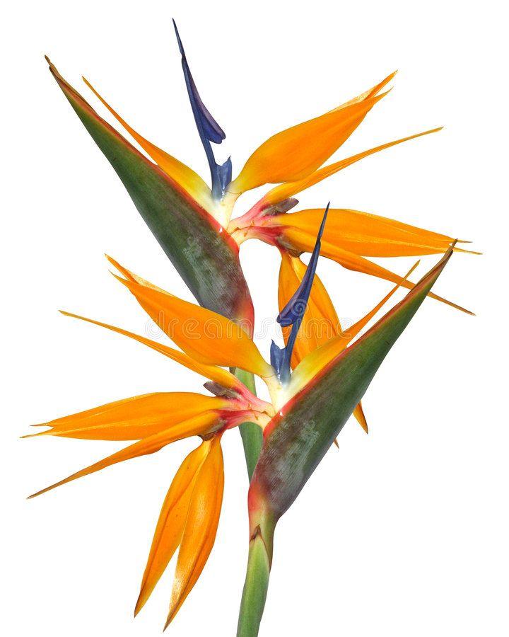 Bird Of Paradise Strelitzia Isolated Bird Of Paradise Strelitzia Flowers In F Ad Iso Birds Of Paradise Plant Birds Of Paradise Flower Birds Of Paradise