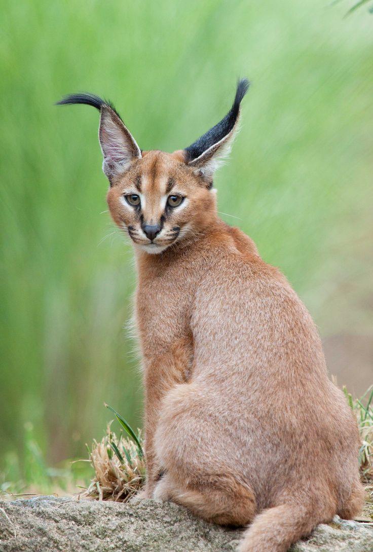 Cats Ear Oregon