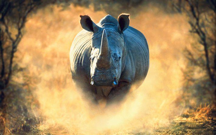 Hämta bilder rhino, 4k, Afrika, kör, noshörningar, vilda djur, damm