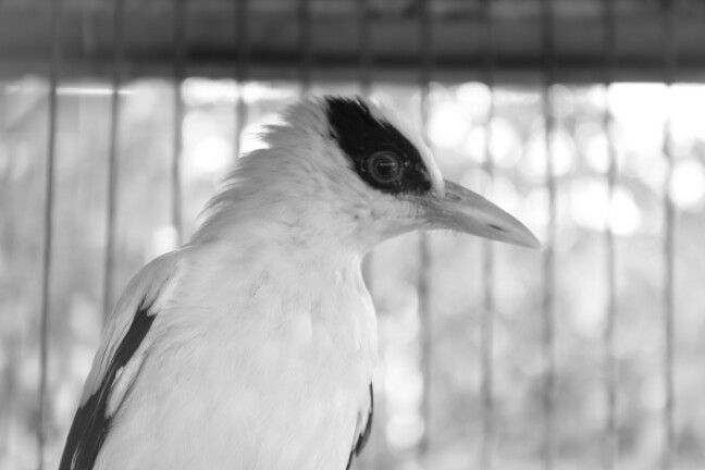 Di balik jeruji masih ada dia, si burung cantik.