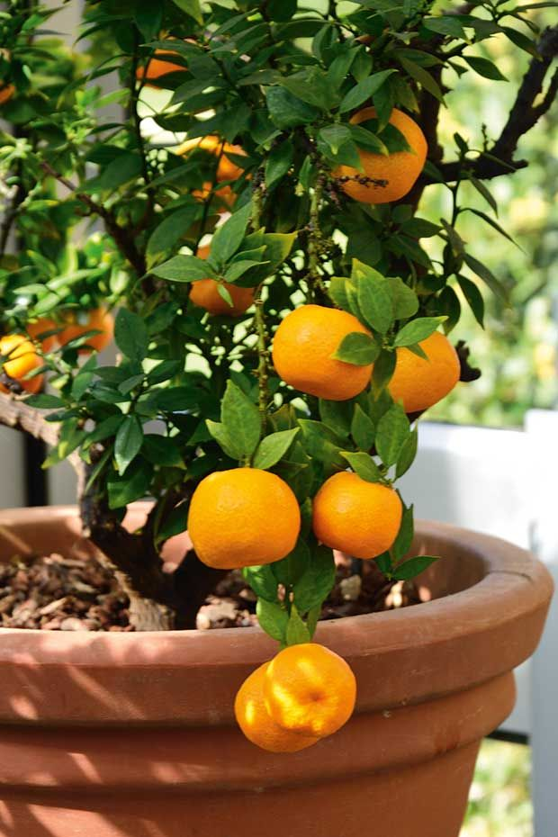 Tips For Growing Citrus Trees In Small Spaces And Containers Citrus Trees Growing Citrus Compost Tea