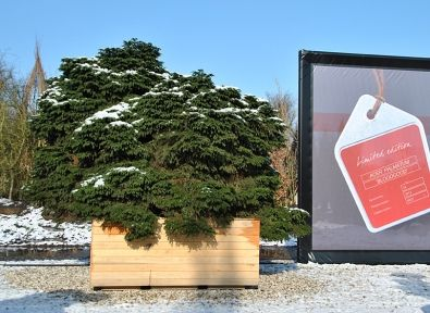 Picea abies 'Nidiformis'   Trees in containers