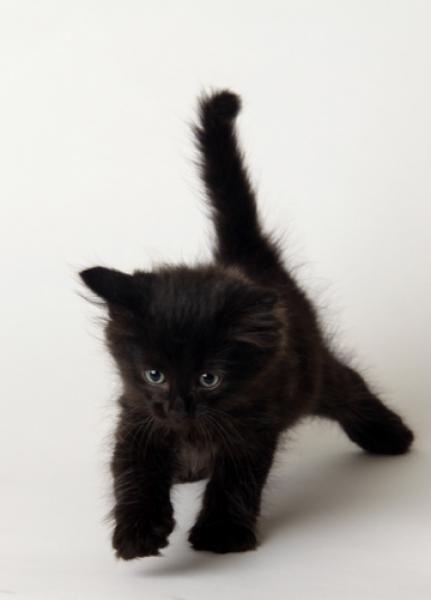 Black kitten prowler! So cute. Incensewoman