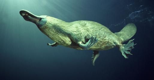Platypus.   Native to eastern Australia, the animal is the only surviving example of its family, Ornithorhynchidae. This group of animals is believed to have split from mammals some 166 million years ago.