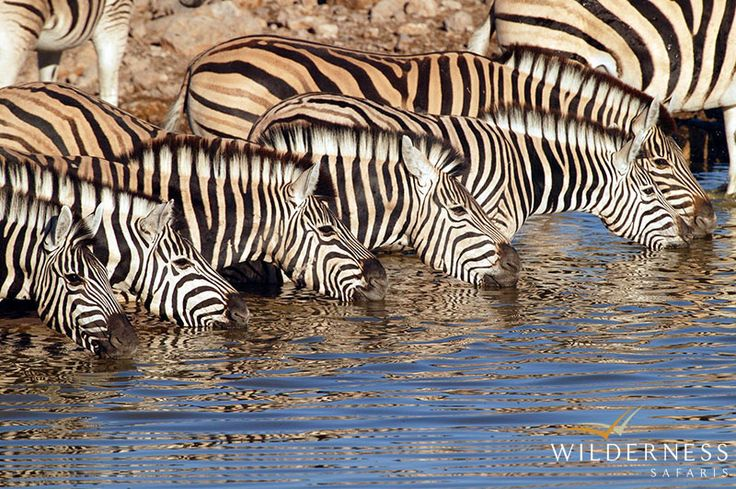 Little Ongava: Most general game is present in Ongava, as well as within Etosha National Park: springbok, gemsbok, wildebeest, Burchell's zebra, Hartmann's mountain zebra, waterbuck, red hartebeest, giraffe, eland and the endemic black-faced impala (the largest population outside of Etosha).   #Africa #Safari #Namibia