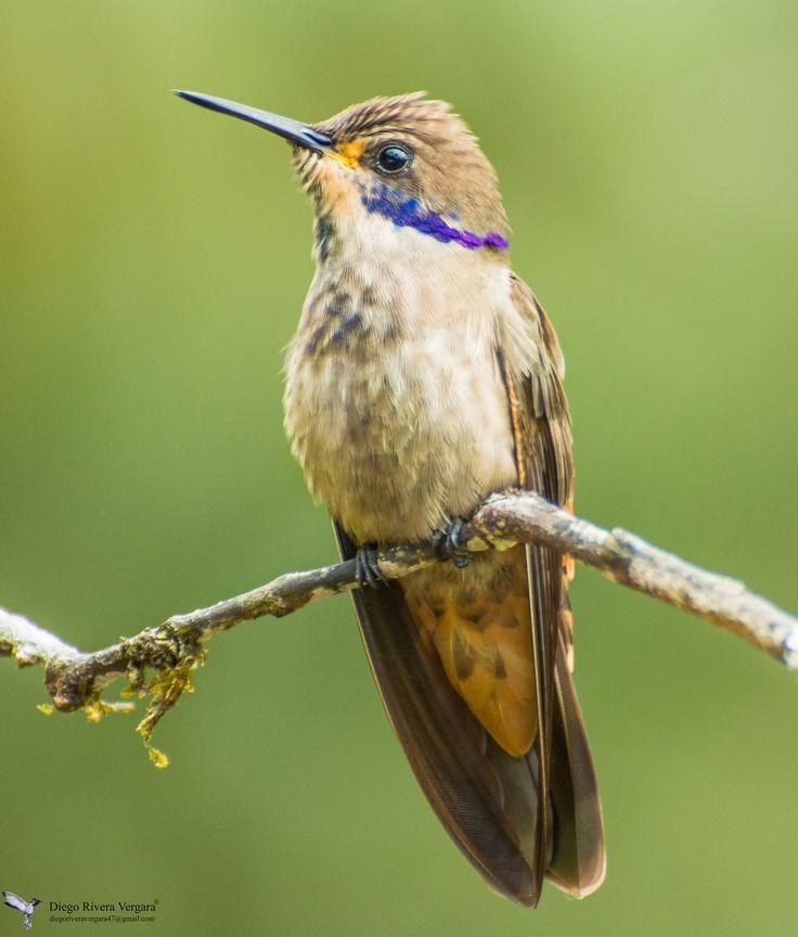 Colibrí delphinae Birds, Beautiful butterflies, Hummingbird