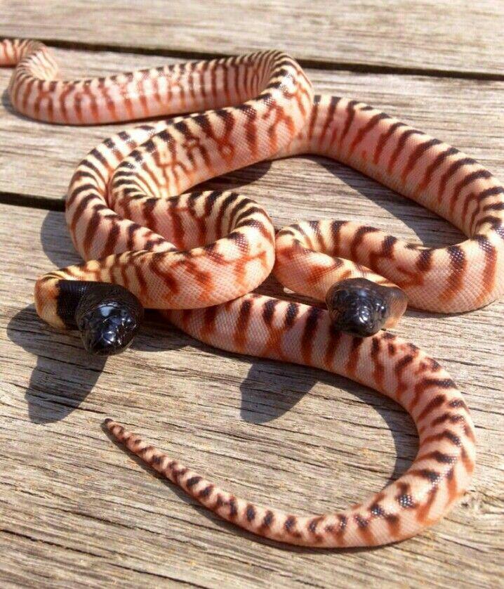 Black Head Pythons