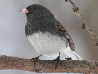 Photo Gallery Of All Juncos
