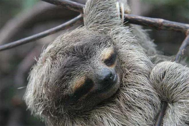 Sloth Facts: Habits, Habitat & Diet