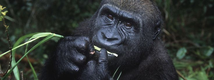 The Western Lowland Gorilla, found in Cameroon, the Central African Republic, the Democratic Republic of Congo and Equatorial Guinea as well as in large areas in Gabon and the Republic of Congo.  Because of poaching and disease, the gorilla's numbers have declined by more than 60% over the last 20 to 25 years.  Critically endangered.  (WWF)
