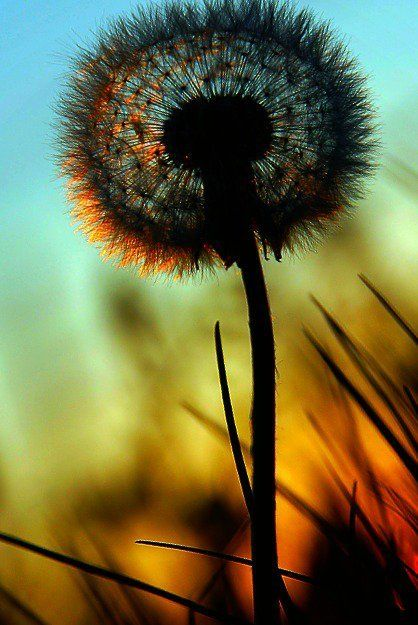 Dandelion at sunset: Simple Beautiful, Inspiration, Silhouette, Colors Palettes, Dandelions, Summer Night, Photo, Painting, Flower