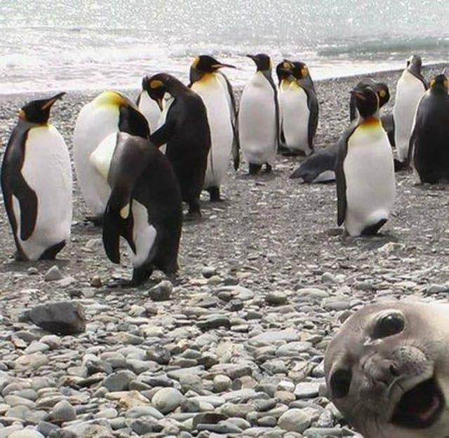 Photobomb: King Penguins, Photos Bombs,  Aptenodyt Patagonica, Sea Lion, Funny Stuff, Funny Animal, Seals Photobomb, Animal Photos, Sealion