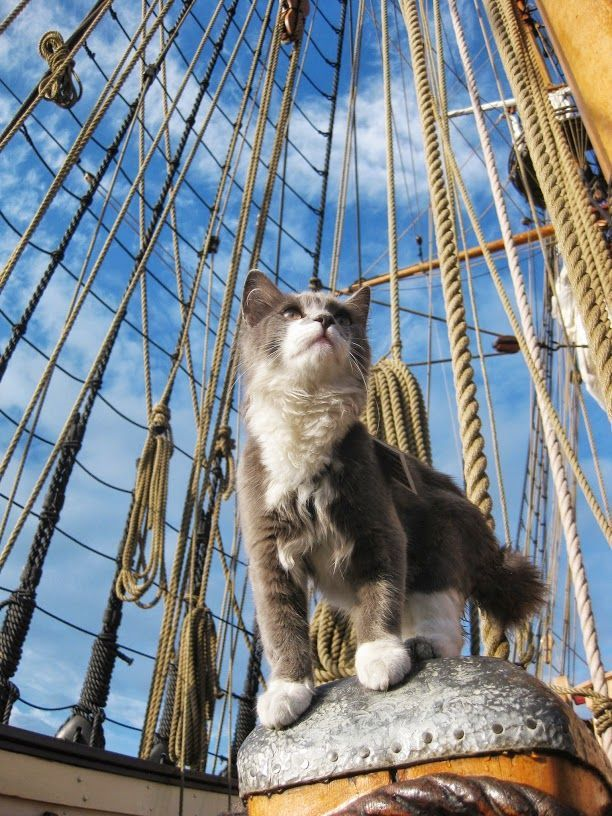 Best Seagoing Cats Images On Pinterest Vintage Cat Cats And - Cat dressed in tiny sailors outfit becomes captain of russian cruise ship