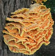 How to Find, Identify, and Cook Chicken of the Woods Mushroom (Laetiporus-sulphureus)