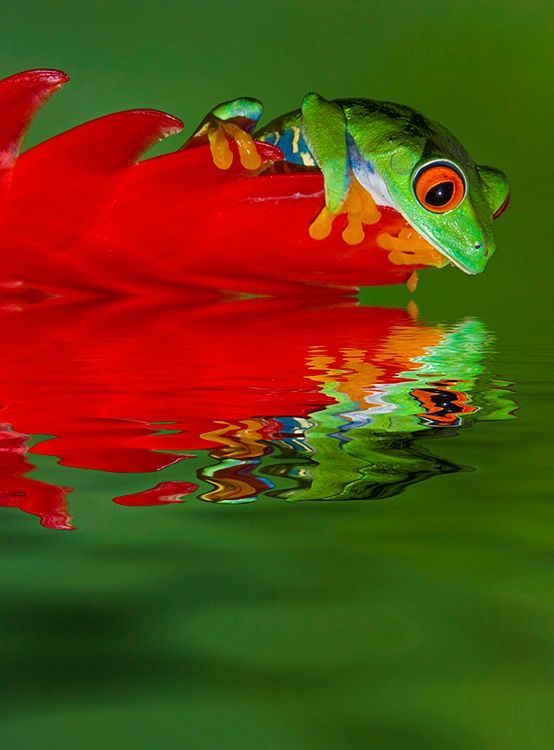 Red-Eyed Tree Frog, Costa Rica. Photo by Jim Zuckerman, One of the Thousands of Gorgeous Native Animals of My Beloved Homeland !!