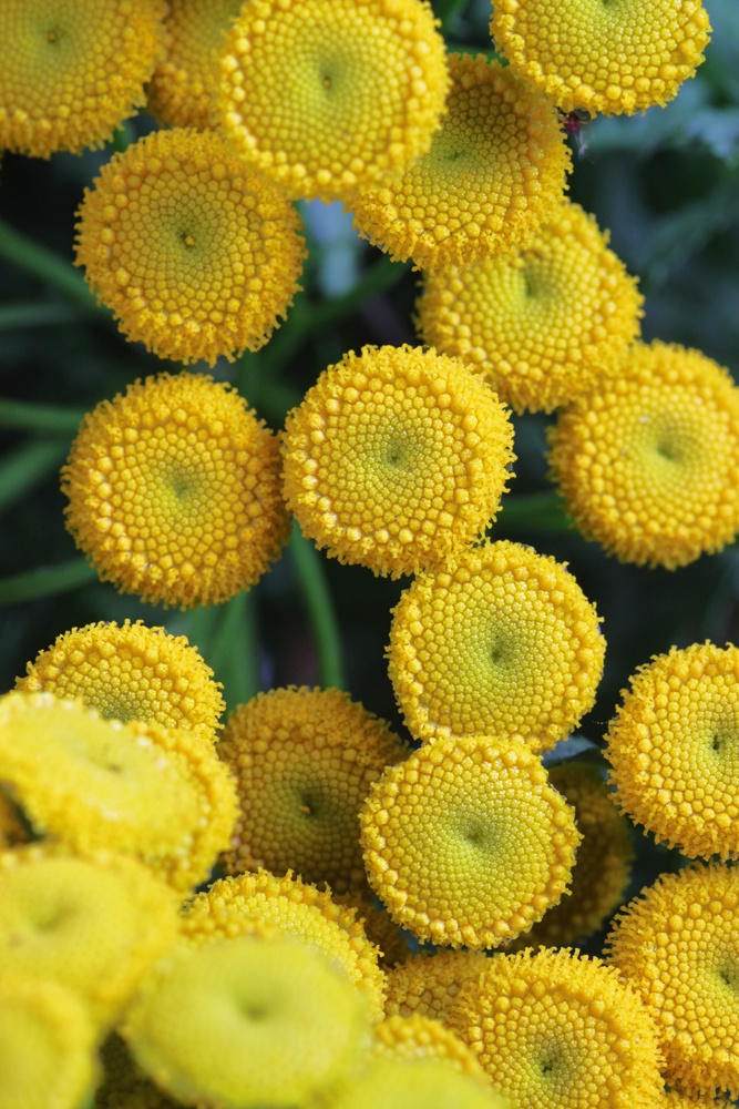 Tansy (Boerenwormkruid). These little flowerheads, that are 7 to 9 mm round, have the same pattern as a sunflower. A lovely inspiration to do some enamel work. http://en.wikipedia.org/wiki/Tansy