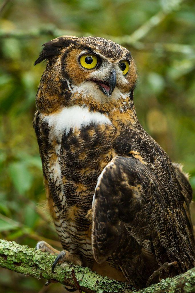 Great Horned Owl, (Bubo virginianus), Cedar Run Wildlife Refuge,Medford, N.J.