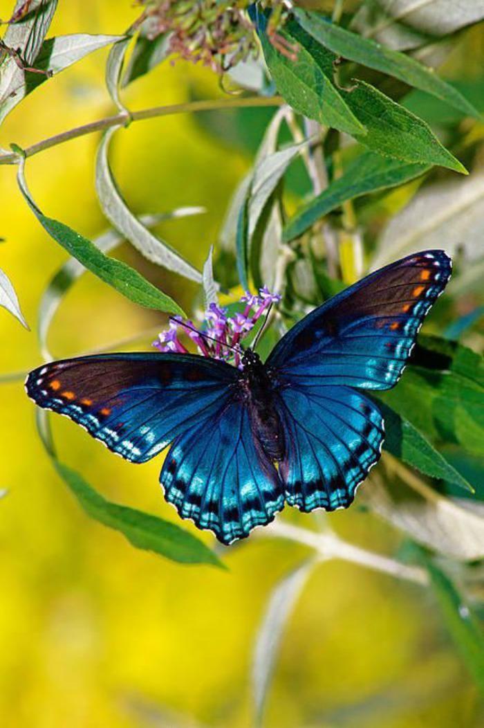 photos de papillons, papillon bleu grâcieux