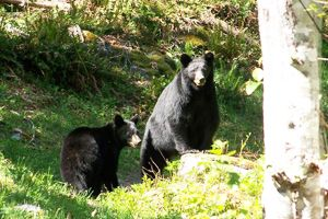 How to hike in bear country. Tell the difference between a black bear and a grizzly, how to avoid a bear encounter and what to do if you meet a black bear on the trail.