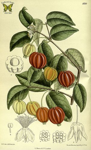 Surinam cherry. Eugenia uniflora. Produces 1 -1.5 inch, ribbed fruits. They begin green, then ripen through shades of orange, scarlet, and maroon. (1915)   This image is in the public domain. Right click to download. Use as you choose.