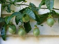 Passionfruit Vine: Passionfruit Vines, Growing Passionfruit, Flowers Recipes, Edible Flowers, Awesome Flowers