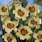 Daylily Pandora's Box/Daylilies can be considered a groundcover. When planted thickly they can keep down weeds, and their tough root system can hold the soil on dry, sunny slopes. Plus, the buds are edible and tasty...