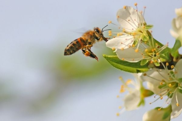 Follow these simple steps to make your own homemade bee repellant.