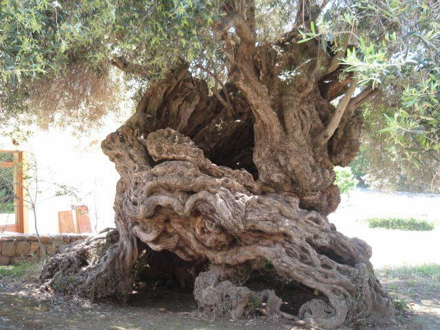 THE ANCIENT OLIVE TREE IN CHANIA CRETE