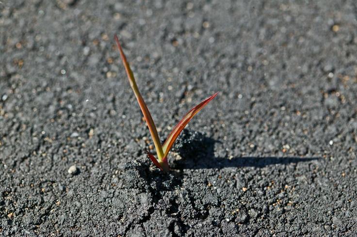 The bud broke asphalt and grew. (March 25, 2012 Japan)