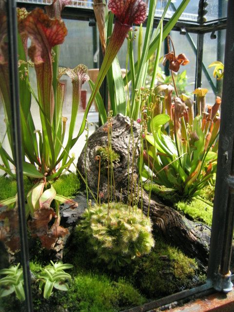 Deluxe terrarium with mosses and carnivorous pitcher plants.  Large enough to really hold the light among the leafs and lovely landscaping