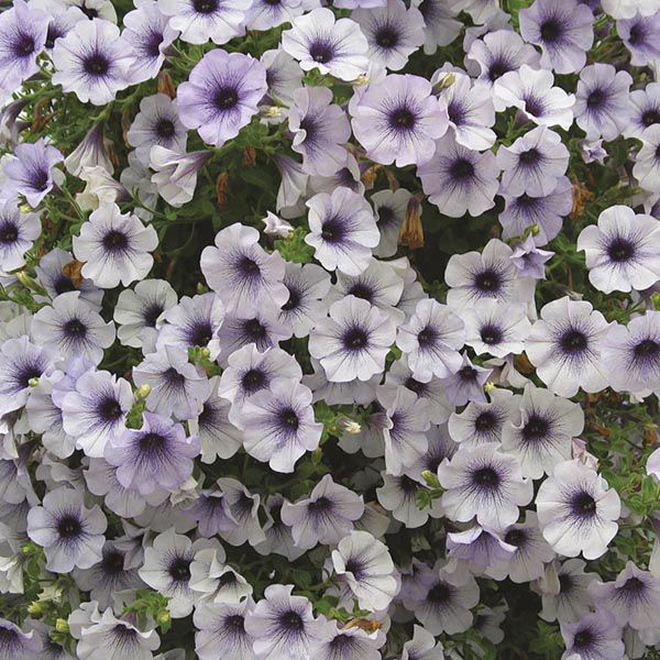 Petunia Surfinia Blue Vein Plants from Mr Fothergill's Seeds and Plants