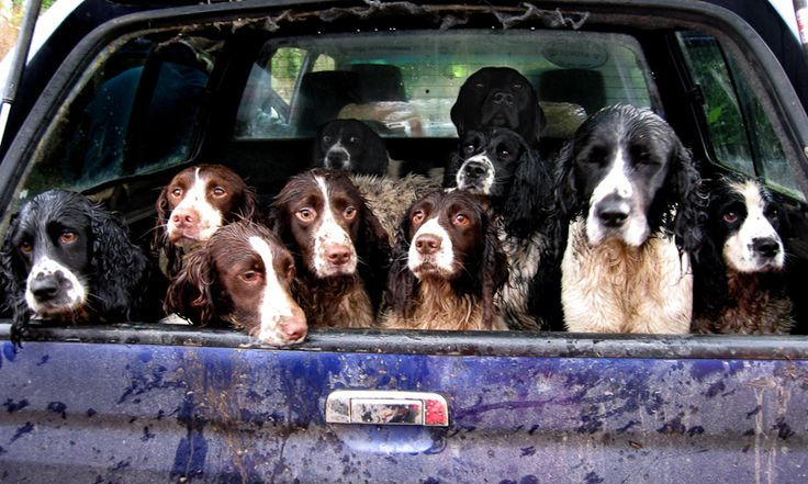 Springer Spaniels - Are we there yet...?